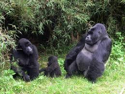 gorillas in bwindi national park