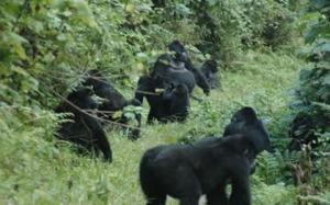 family of mountain gorillas